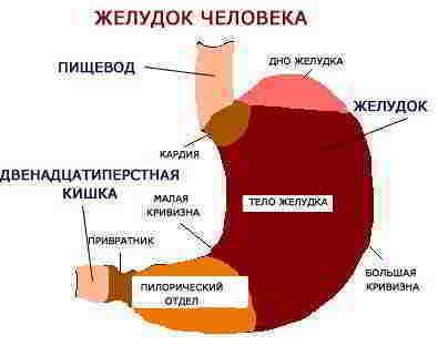 Строение желудка человека - схема, фото, картинки. Анатомия желудка